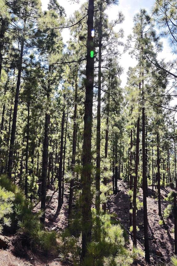 Bosque de pino canario