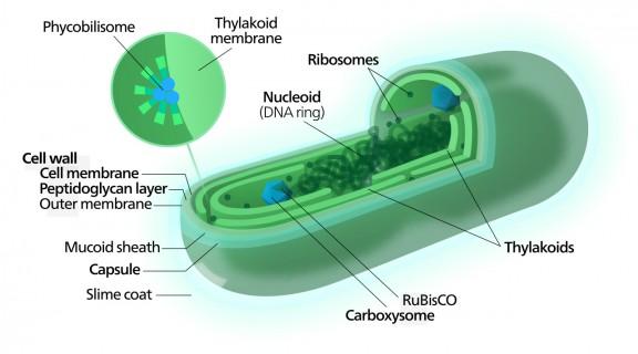 Esquema de una cianobacteria