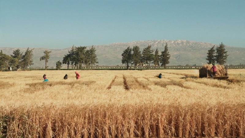 wild_relatives_icarda_harvest